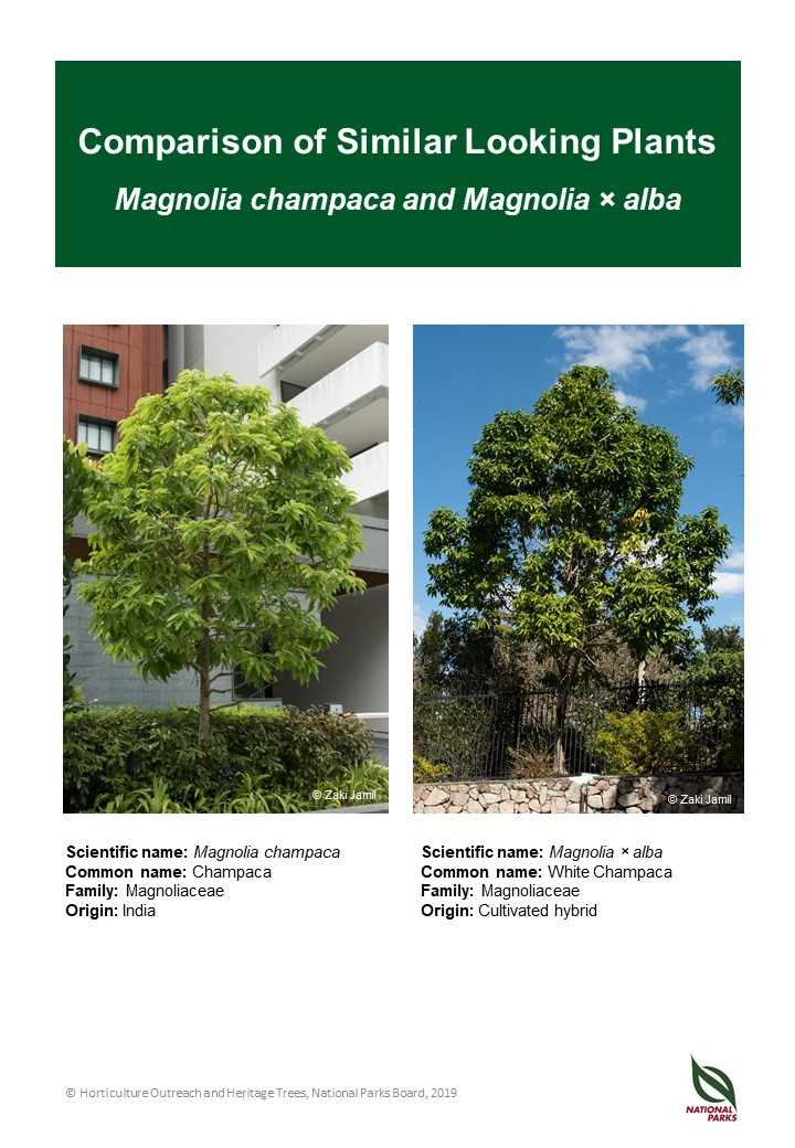Magnolia champaca ID comparison resource