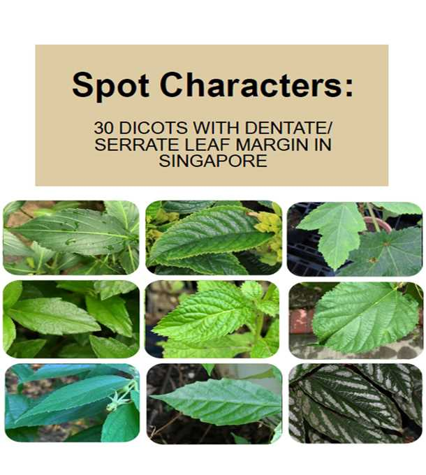 30 dicots with dentate and serrate leaf margin in singapore