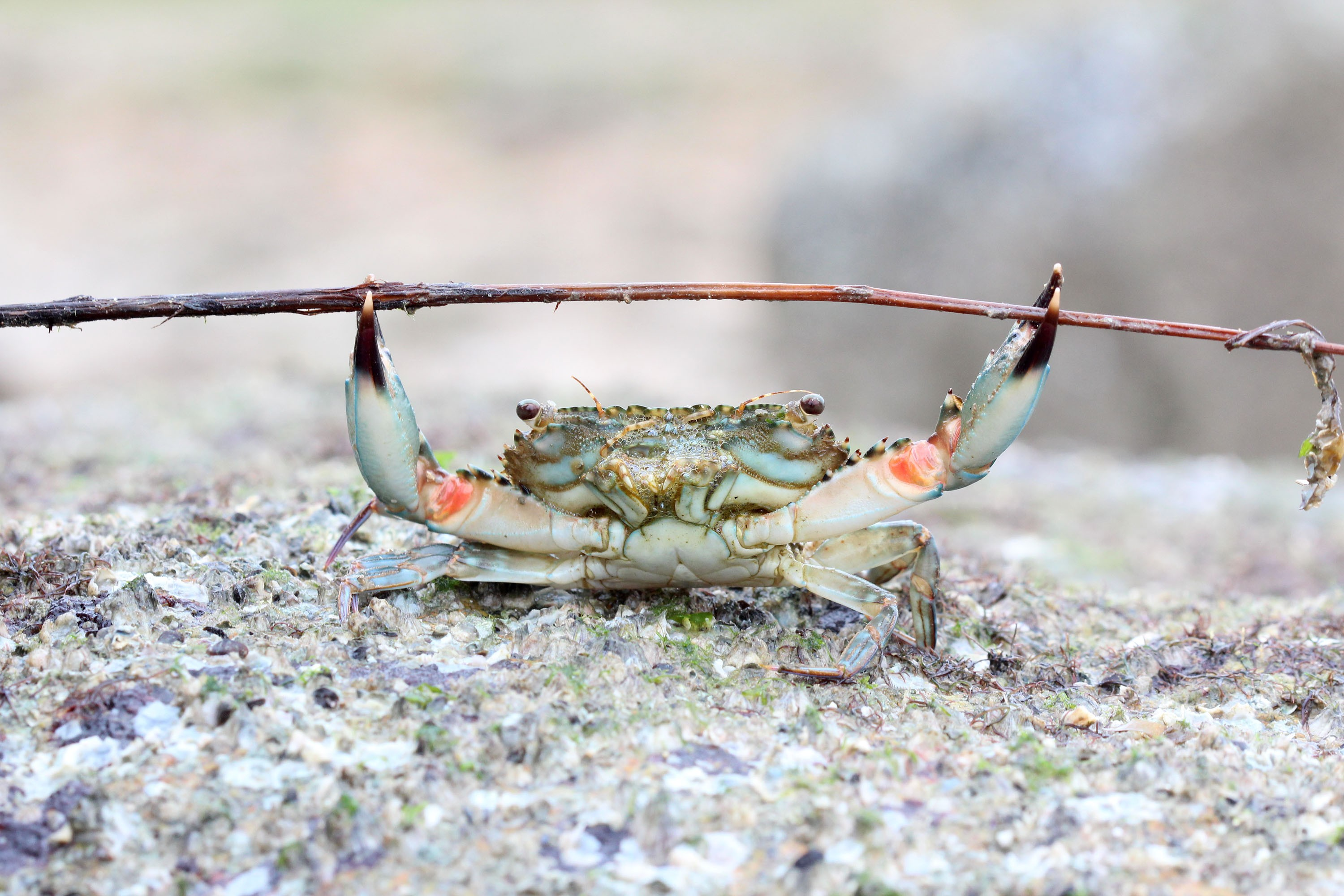 Crab by Goh Teck Leong