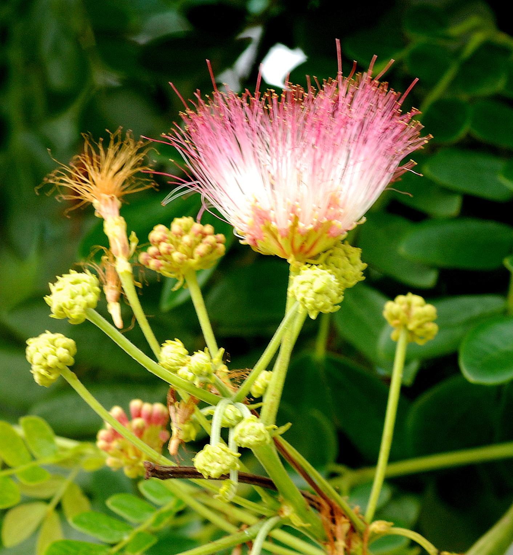 rain tree close up flowers 2