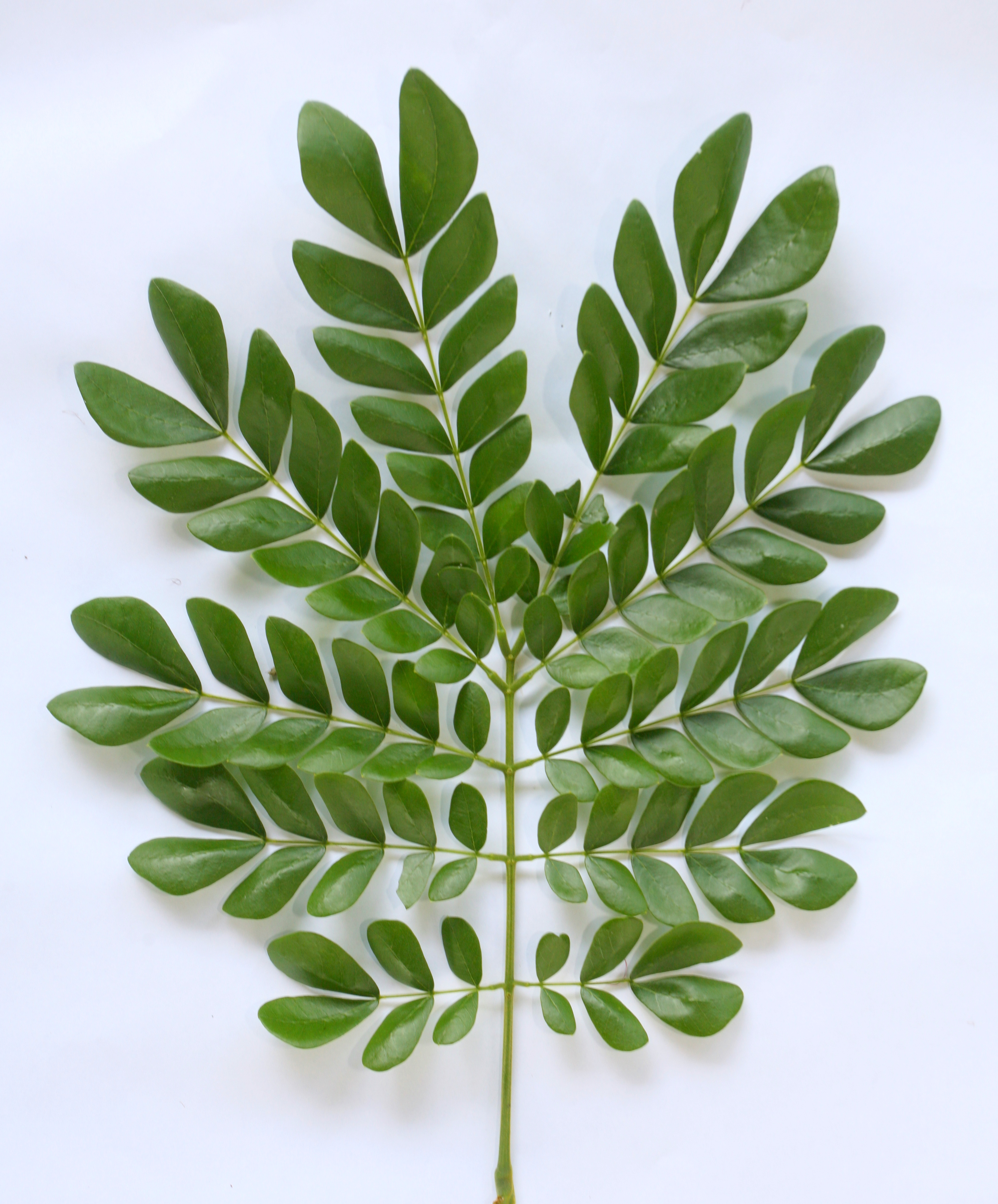 rain tree leaves