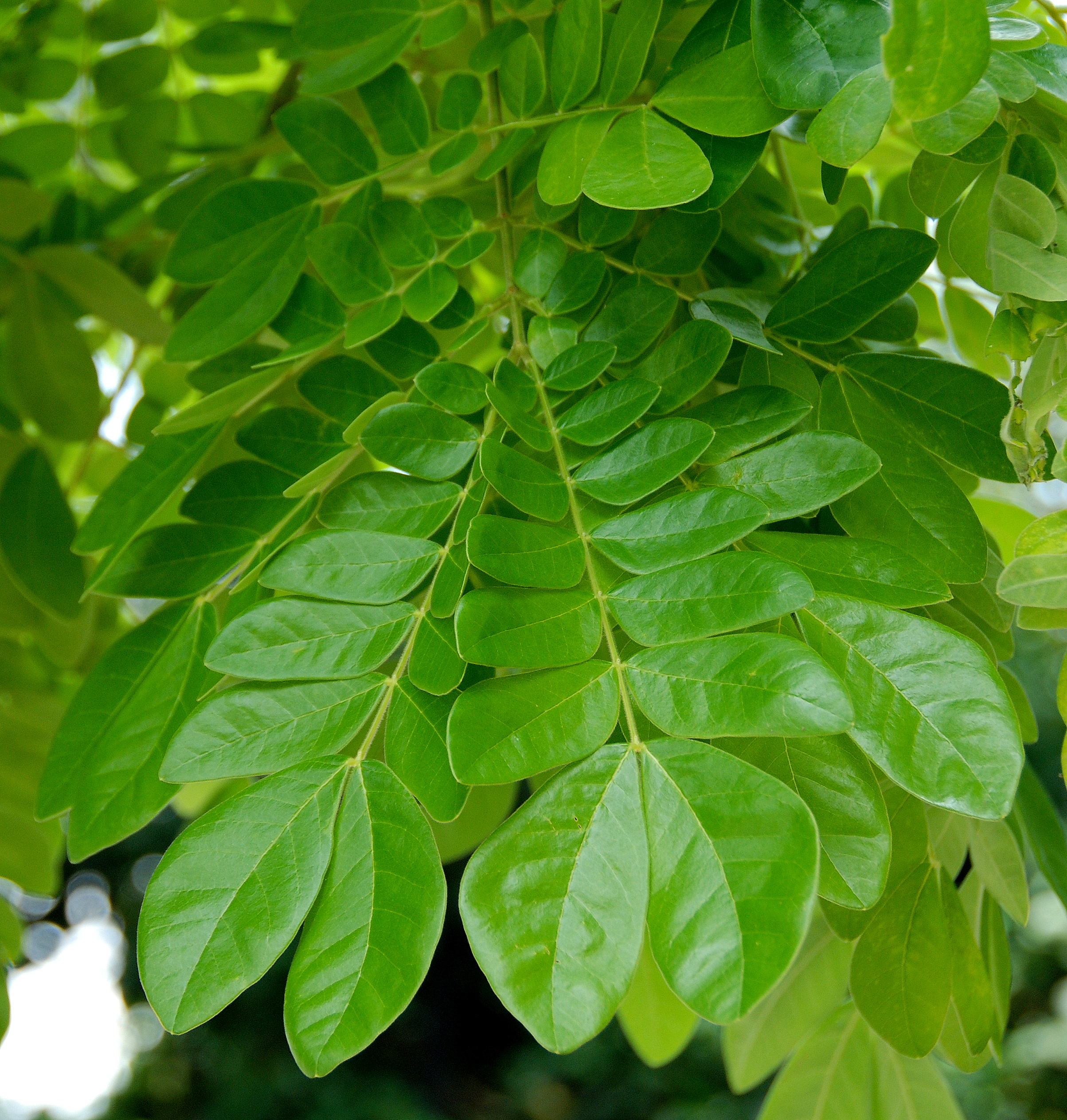 rain tree leaves