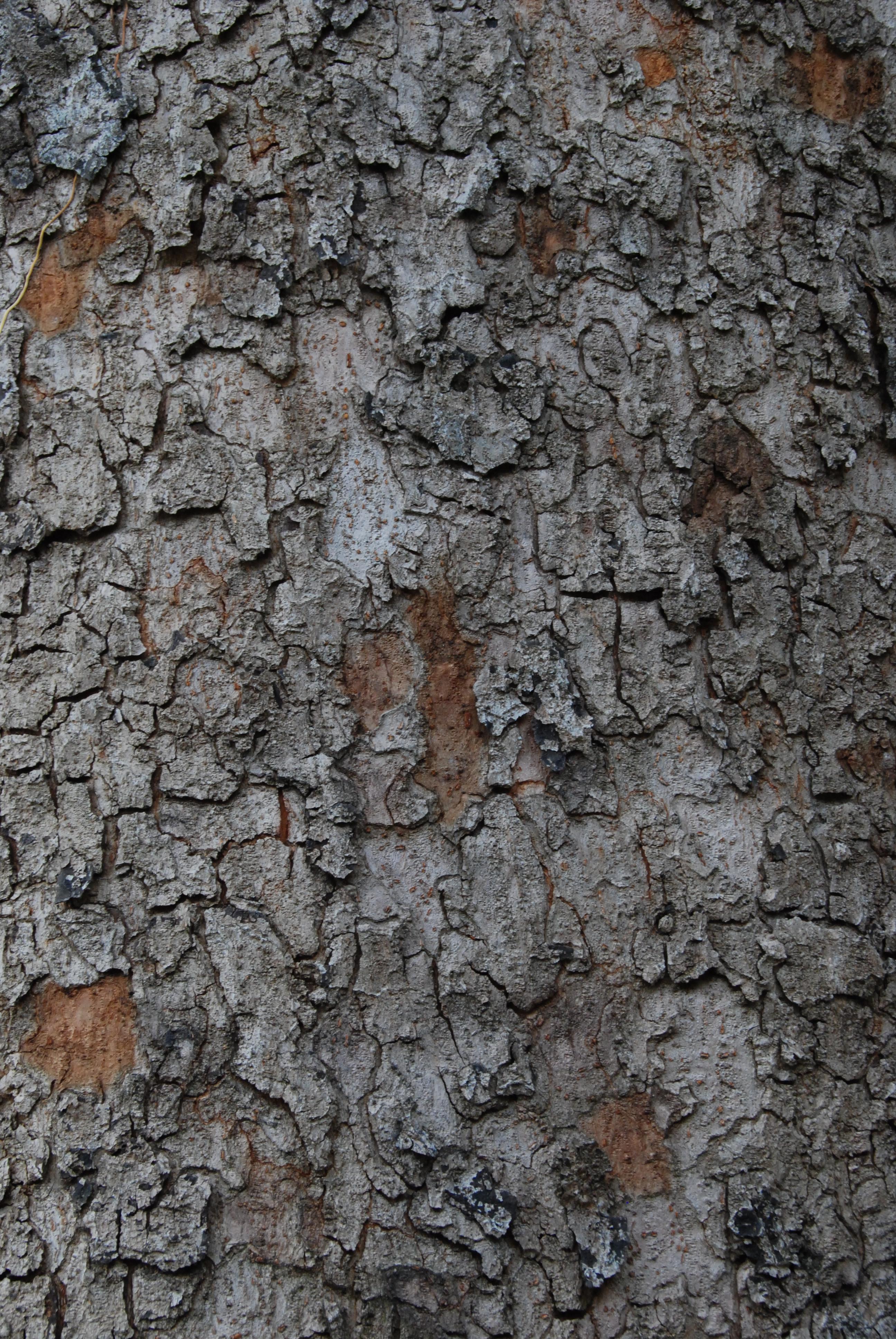 senegal mahogany