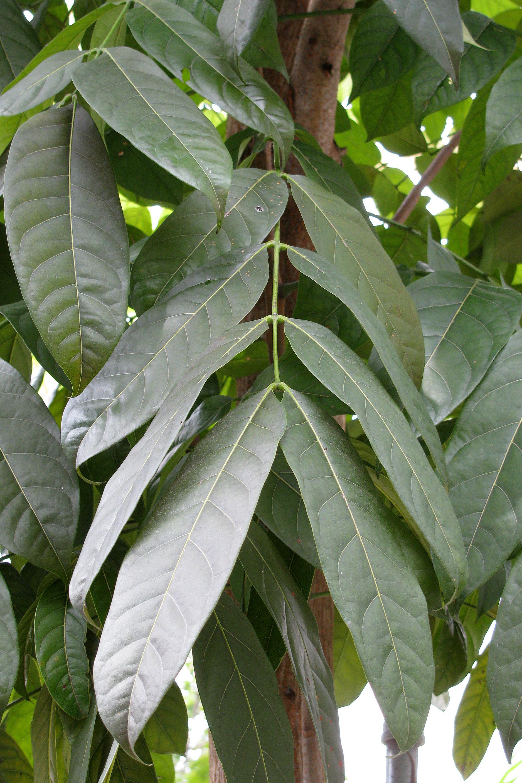 broad leafed mahogany