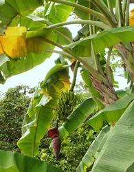 Picture of a banana plant with the inflorescence and the banana fruits