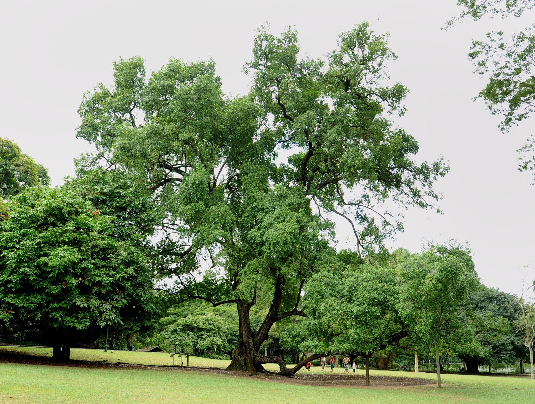Heritage tree wallpaper screensaver heritage trees for Garden trees