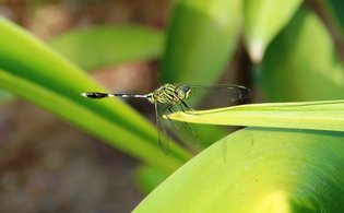 orthetrum sabina dragonfly